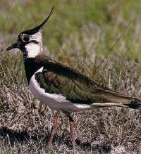 Uccello nuotatore dallo splendido piumaggio